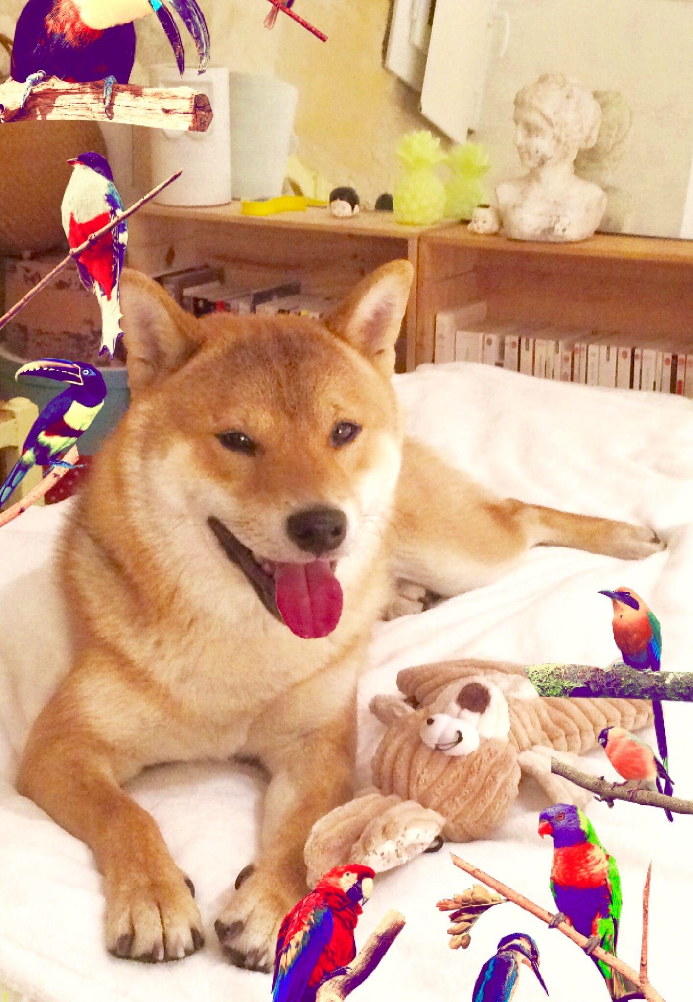 Happy Birthday Miyuki 1 An Deja Shiba Inu Doggy Happy Birthday