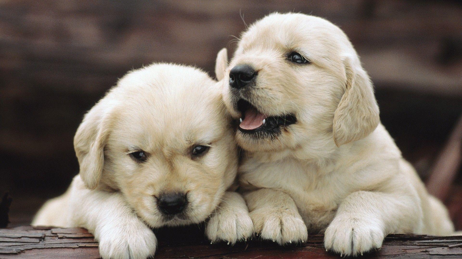 Puppies Wallpaper 2301348 Jpg Retriever Puppy Puppies Cute