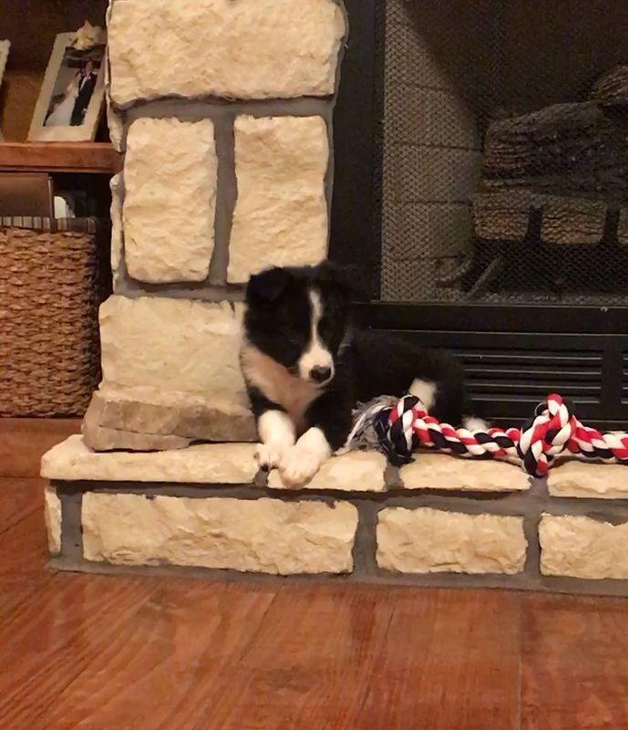 Julia's favorite spot. Black and white Border Collie puppy
