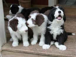 Bearded Collie Google Zoeken Cute Puppy S