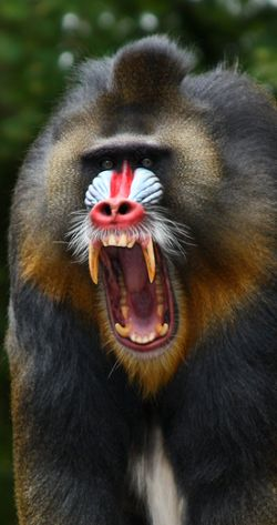 Image result for mandrill angry