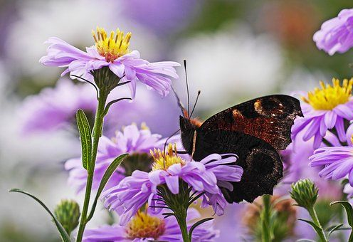Asters, Butterfly