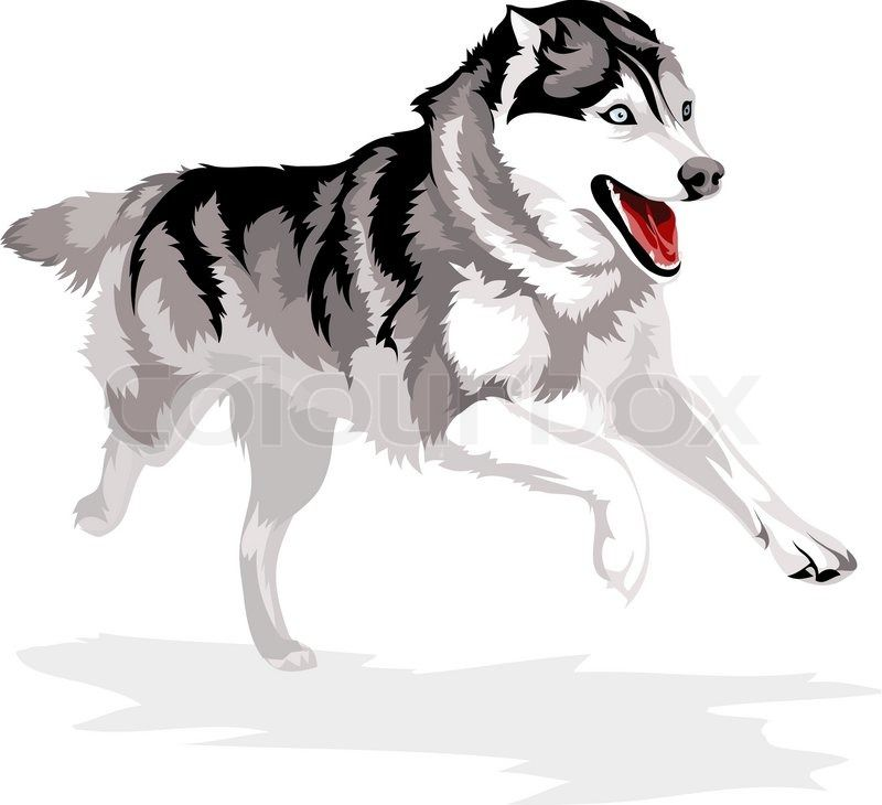 Running Dog Breed Siberian Husky Vector Colourbox On Colourbox