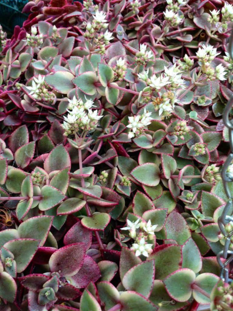 Crassula Pellucida Subsp Marginalis Variegata Calico Kitten World Of Succulents Cacti And Succulents Succulents Planting Succulents