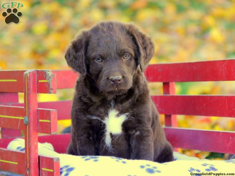 Lab Puppies For Sale Rochester Mn References
