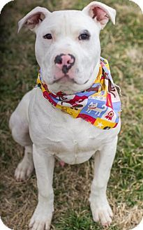 Pilot Point Tx American Bulldog Dogo Argentino Mix Meet Dewey