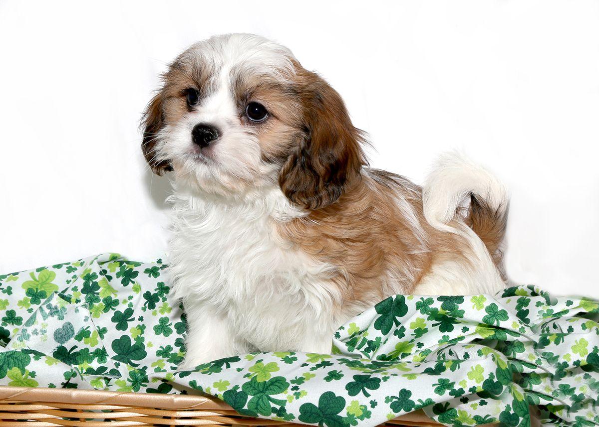 Cava Tzu Dog Design Dog Mixes Dogs And Puppies