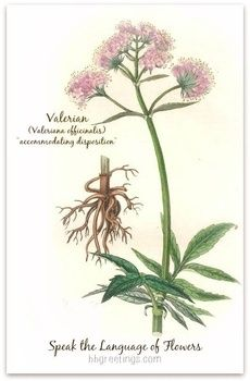 In the Language of Flowers, Valerian~ Valeriana officinalis -accommodating disposition~