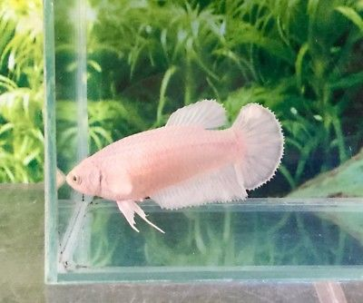 Plakat Betta Fish Female