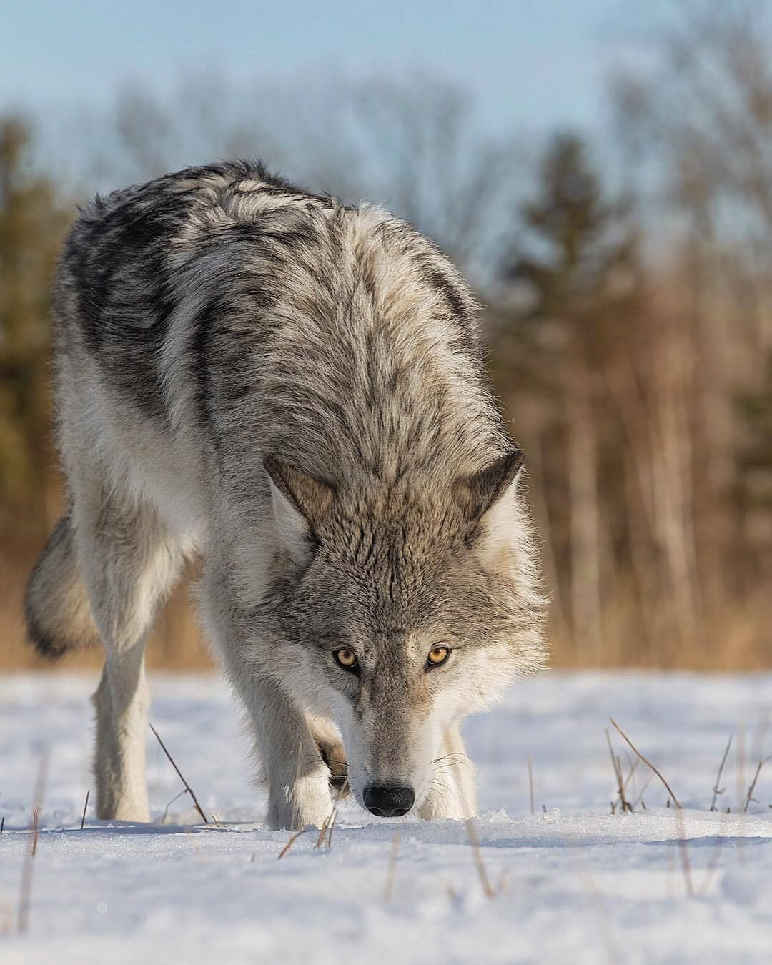 "beautiful-wildlife: ""Wolf by © cjm_photography """