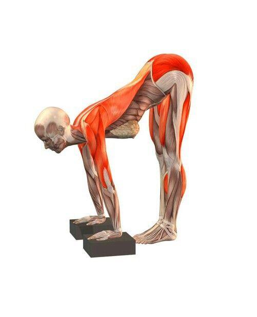 Ardha uttanasana   Tư thế yoga   Pinterest   Yoga, Anatomía y Ejercicios