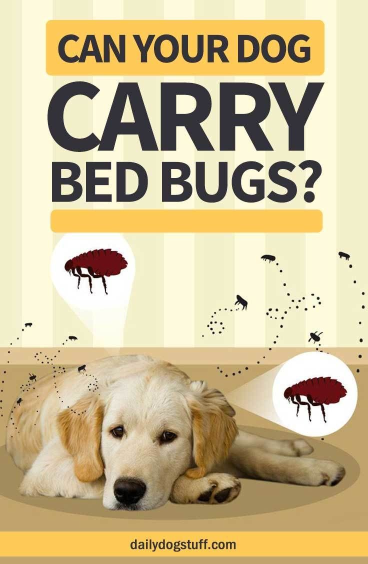 Can your dog carry bed bugs daily dog stuff bed bugs