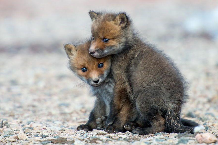 Two cute Fox pups