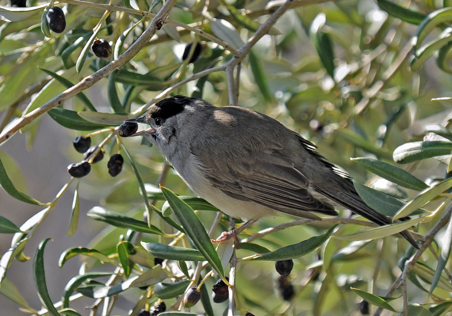 A male blackcap bird eating an olive from the tree