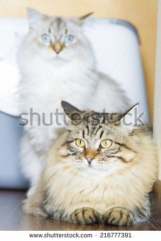 Foto, immagini royalty-free e vettoriali - @shutterstock #cat #kitten #pet #animal #cute #gatos #little #feline #puppy #siberian #meow #cuddling