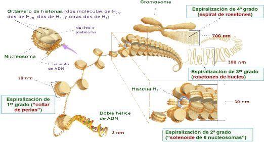 Empaquetamiento del ADN Fuente: -http://iespoetaclaudio.centros.educa.jcyl.es/sitio/index.cgi?wid_item=1486&wid_seccion=19
