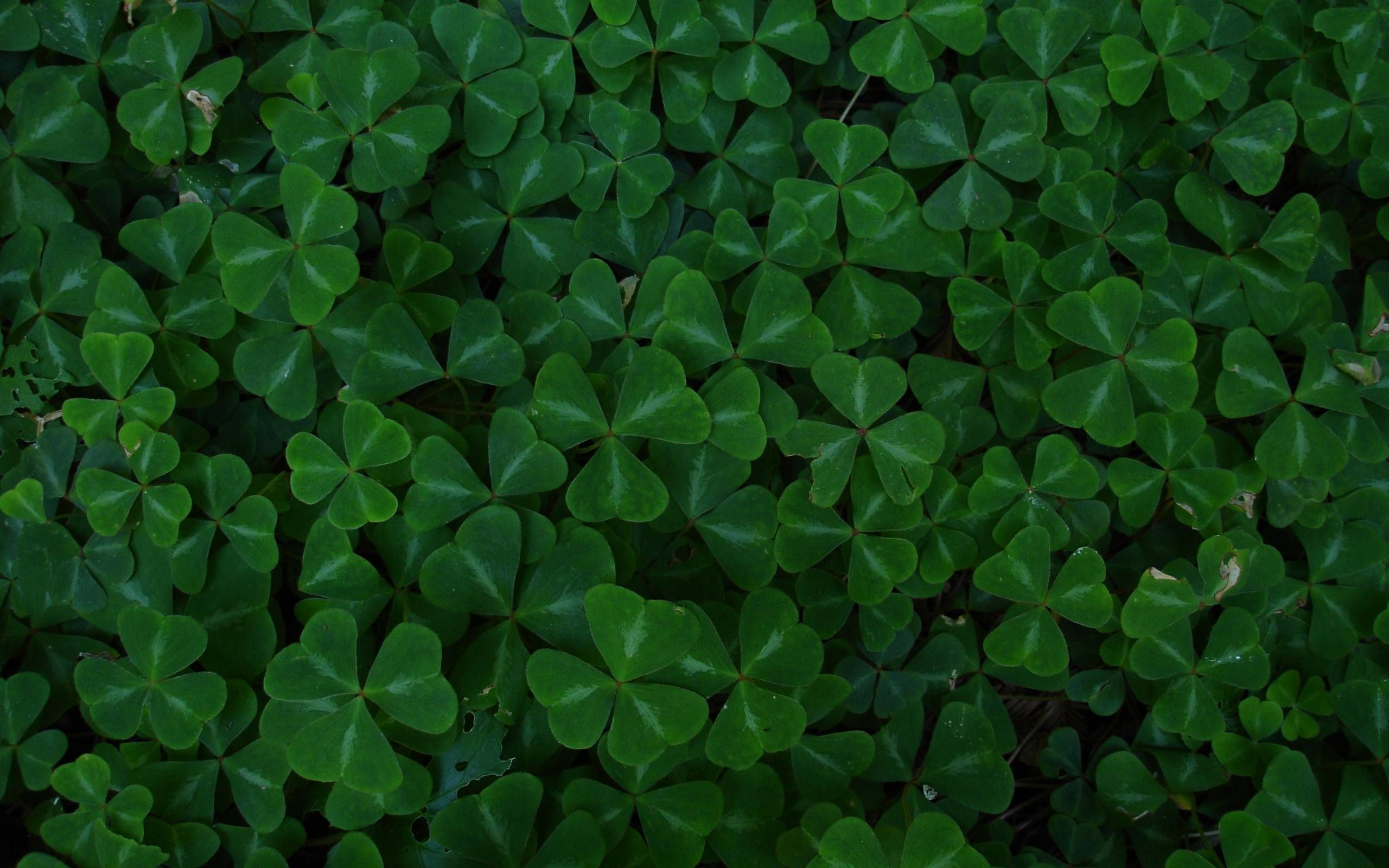 Green Leaf Clover Wallpaper 2560x1600 10549