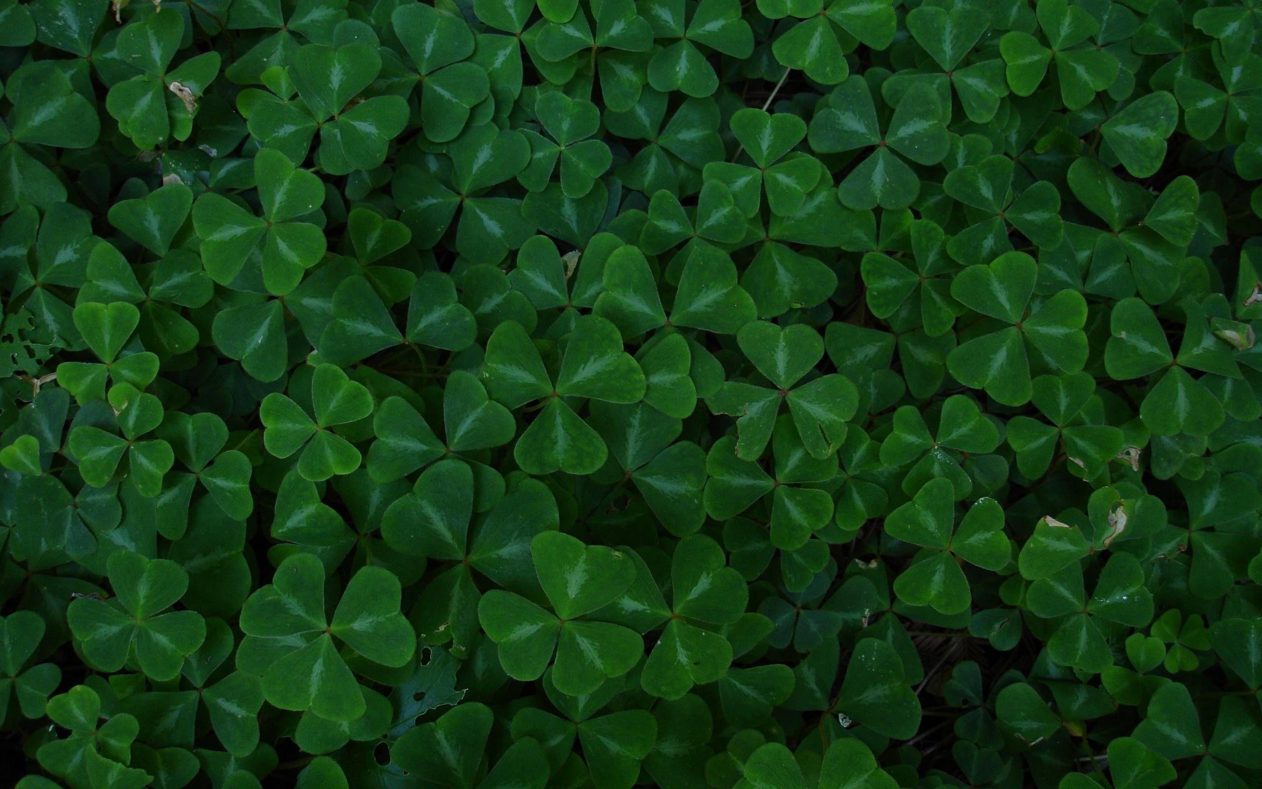 Four Leaf Clover Wallpapers Clover Leaf Green Leaf Wallpaper Wallpaper