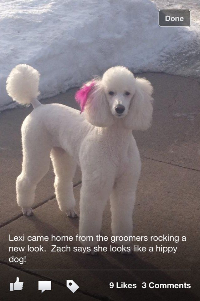 Newborn Poodles Pictures Lexis New Look Poodle Forum Standard