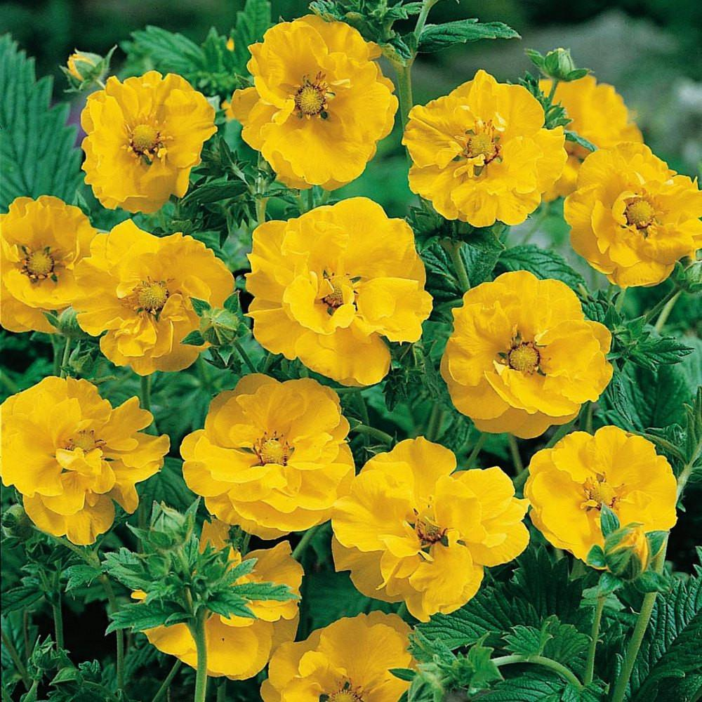 Geum Seeds Avens Lady Strathedenbright Yellow Perennial Flowers