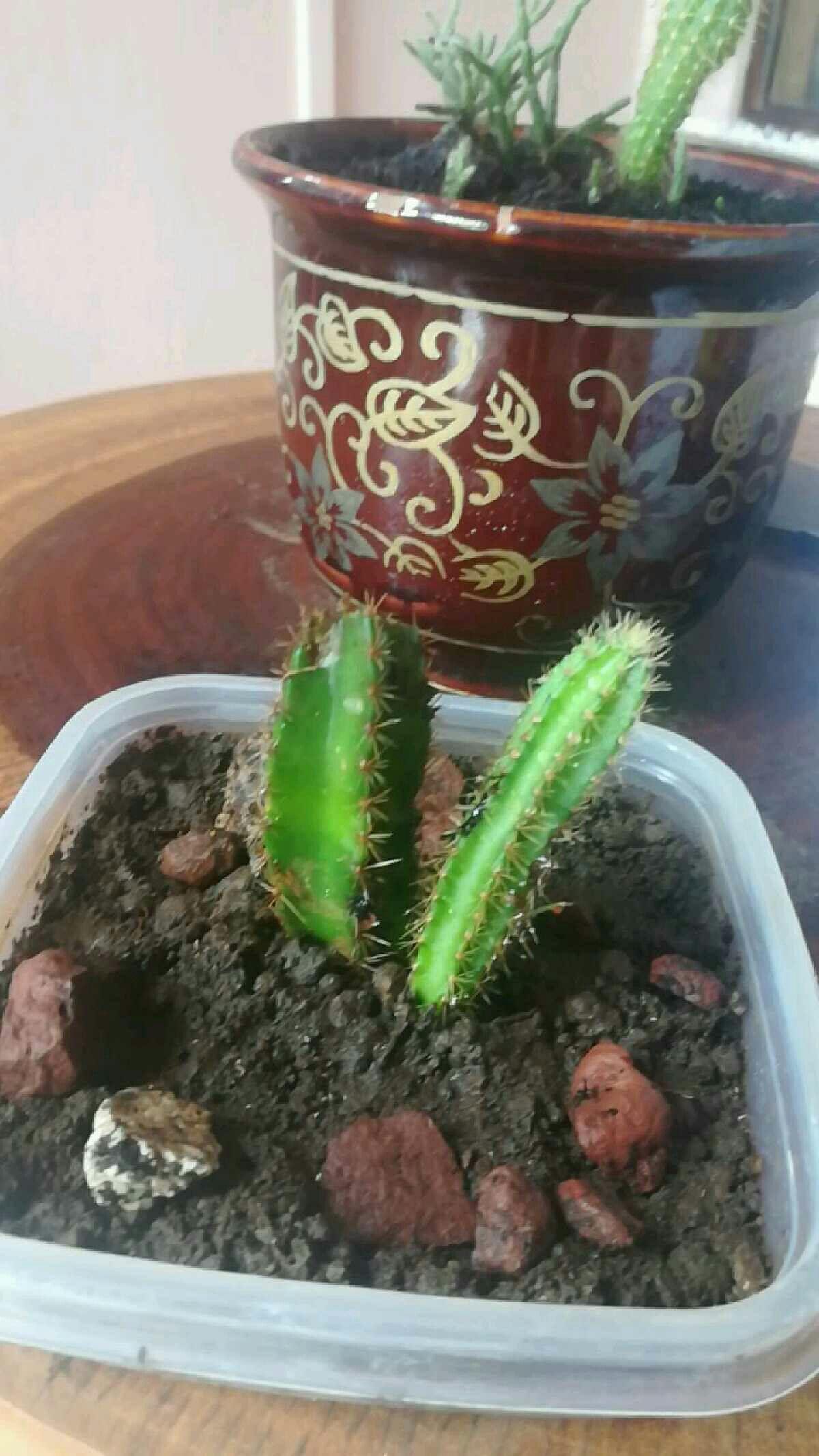 Rescued cactus Planter pots, Planters, Garden