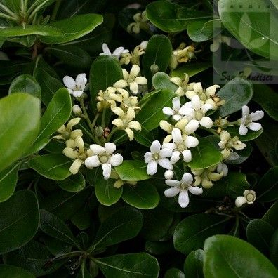 Pittosporum tobira enano plantas y sus nombres pinterest pittosporum tobira nanum the small white summer flowers of the pittosporum tobira nanum sweetly scented with an orange blossom perfume give this plant mightylinksfo