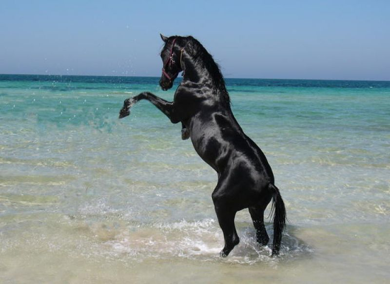 cheval arabe noir au galop