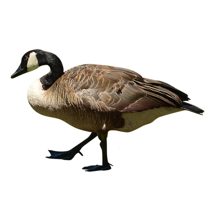A Canadian goose just marching along on dry land.