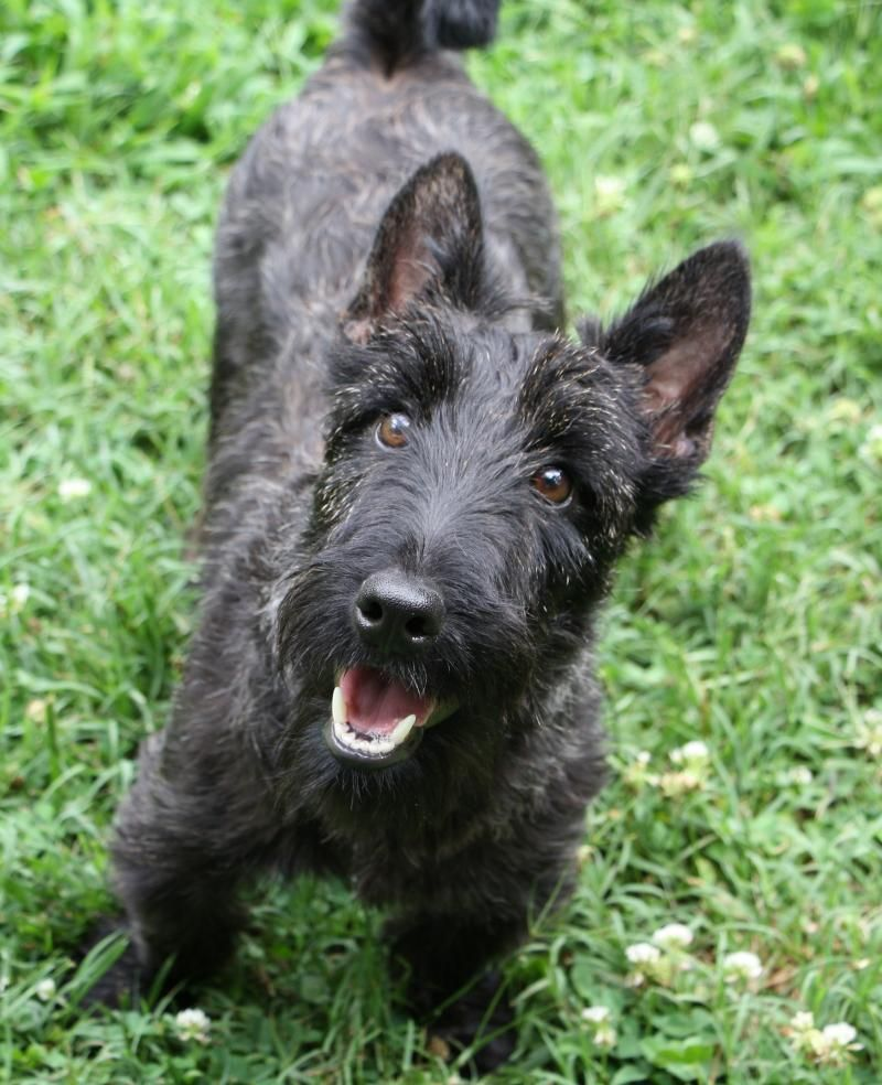 Adopt Bryn on (With images) Scottish terrier, Dog