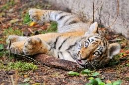 Photo Tigers