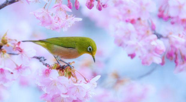 Na primavera, uma infinidade de flores de cerejeiras (sakura) florescem por todo Japão (Foto: Flickr/ajpscs)