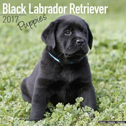 Avonside Hunde Kalender 2017 Avonside Hunde Wandkalender 2017 Labrador Puppies Black Labrador Retriever