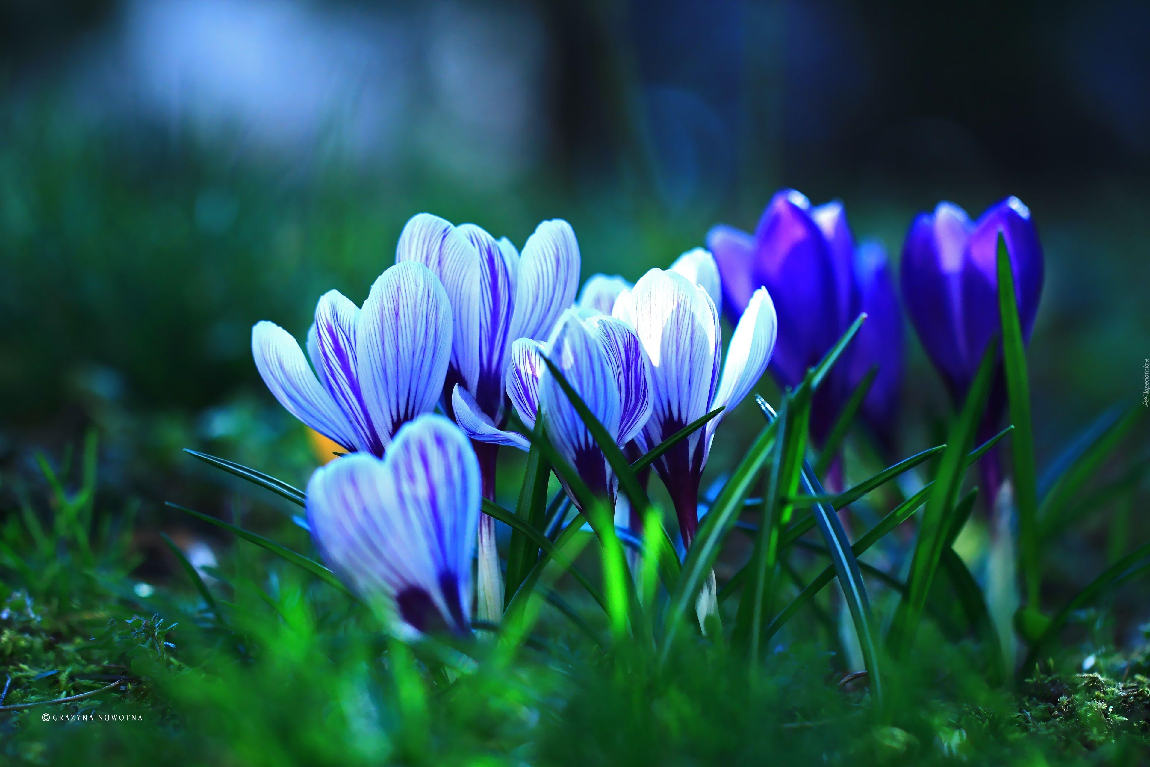 Krokusy Crocus Flower Flowers Spring Flowers