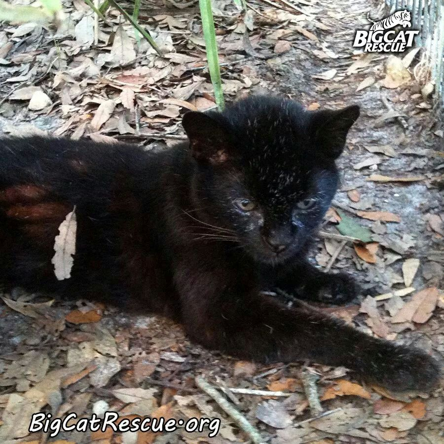 Small doesn't mean he's not wild... Big cat rescue, Wild
