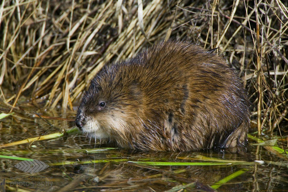 Muskrat Pauses While Eating Canon 1ds Mark Ii Canon 500mm F4l Is Lens 1 4x Extender Wildlife Photography Tips Digital Photography School Digital Photography