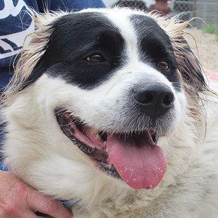 Border Collie St Bernard Bernard Collie Hybrid Dogs Dogs Mixed Breed Dogs