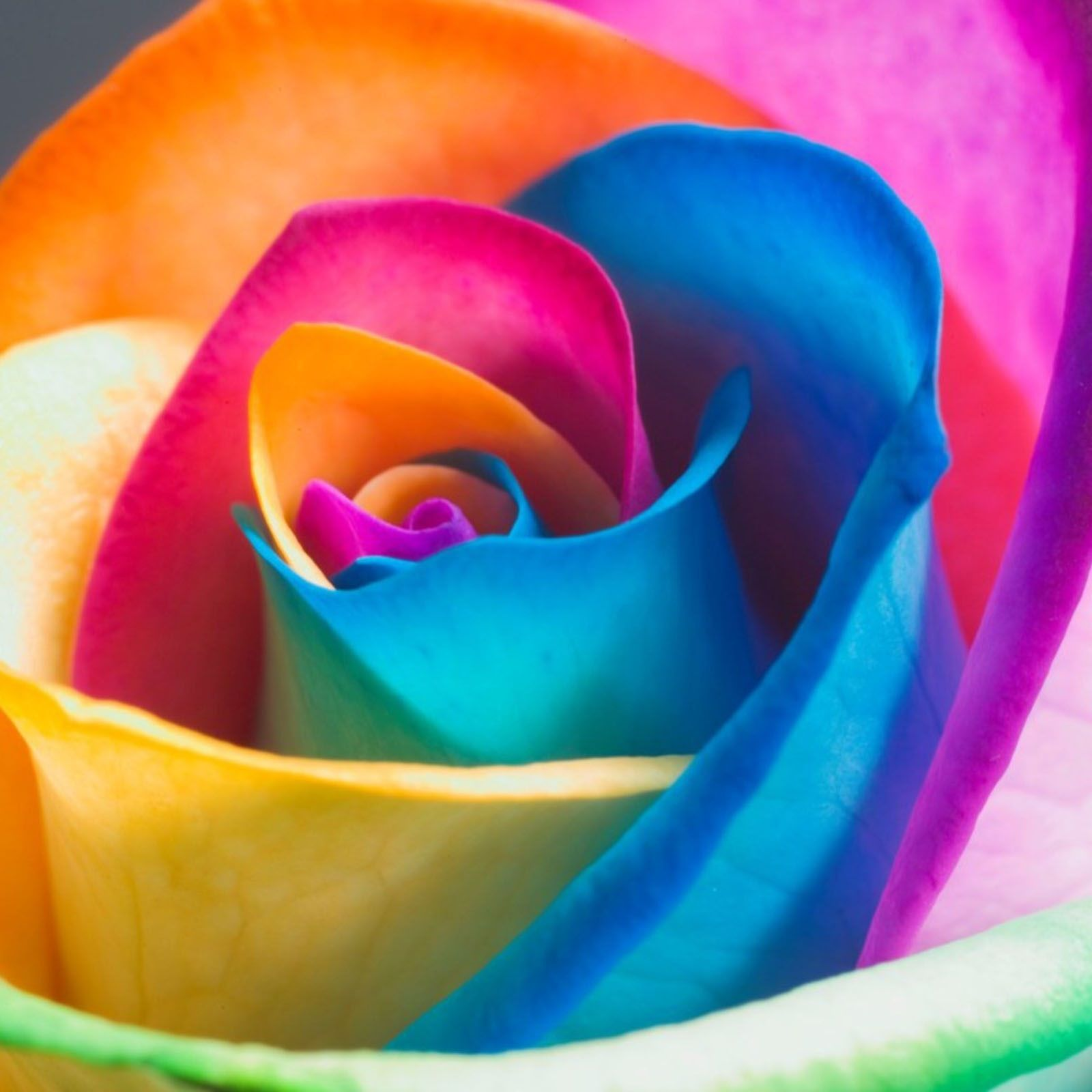 Rainbow rose everything rainbow pinterest for What are rainbow roses