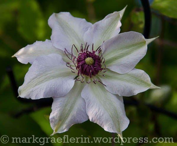 April In Meinem Garten Bluhende Rosengewachse In Pink Und Weiss Gewachs Rosengewachse Garten