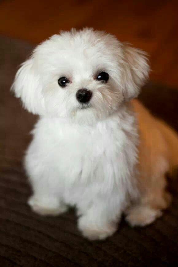 Such A Cute Maltese Puppies Cute Animals Pets