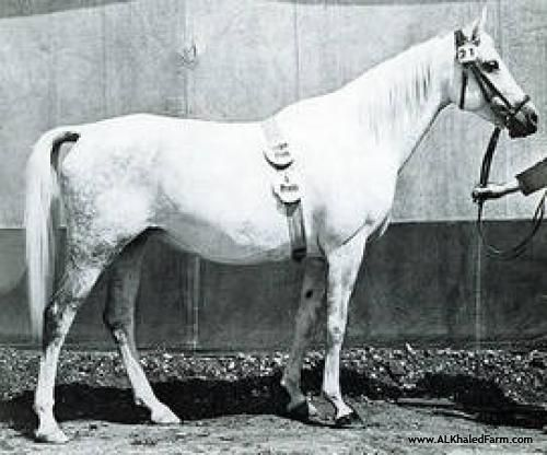 Website Inquiry Al Khaled Farm | Horse | Shari I