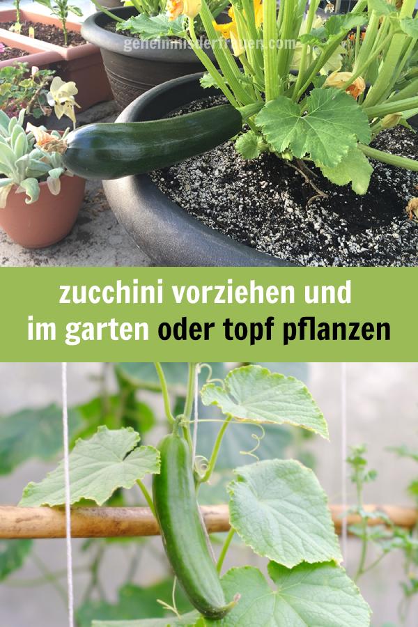 Zucchini Vorziehen Und Im Garten Oder Topf Pflanzen Zucchini Vorziehen Garten Pflanzen Herbs Zucchini Vegetables