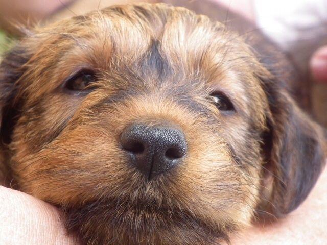 Pedigree Irish Terrier Puppies For Sale Saxmundham Suffolk