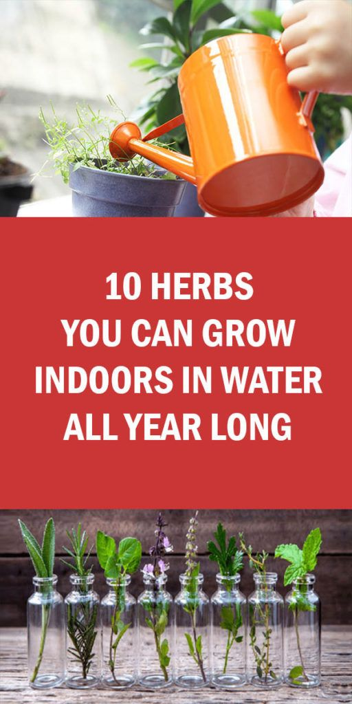 10 Herbs You Can Grow Indoors In Water All Year Long Growing Herbs Indoors Indoor Vegetables Indoor Vegetable Gardening