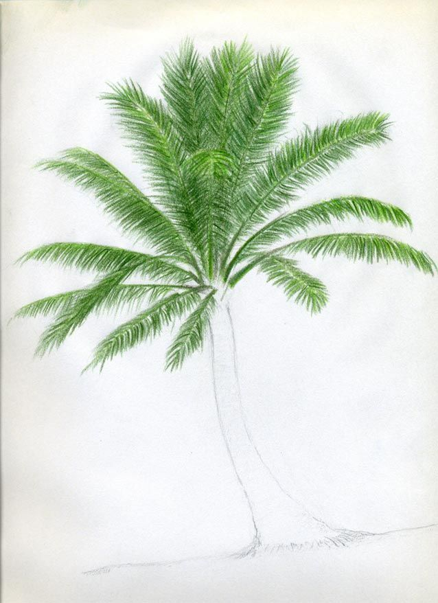 Draw Palm Trees08 Jpg 638 878 Palm Tree Drawing Tree Drawings Pencil Tree Drawing