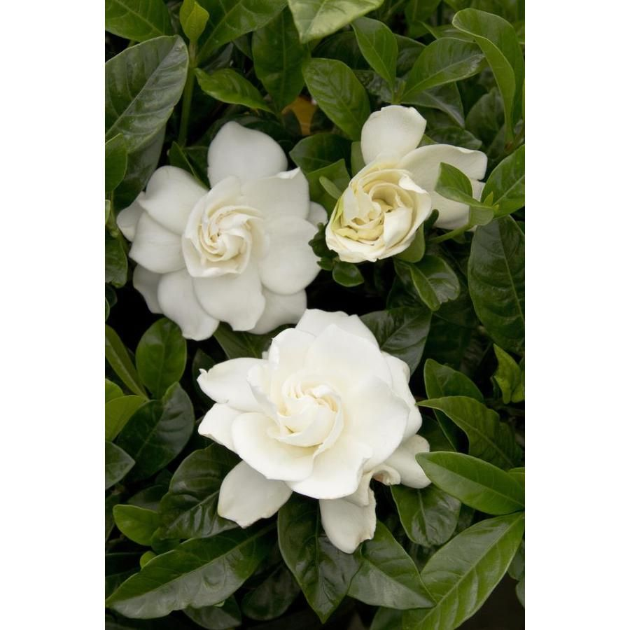 Monrovia 3 58 Gallon White First Love Gardenia Flowering Shrub In
