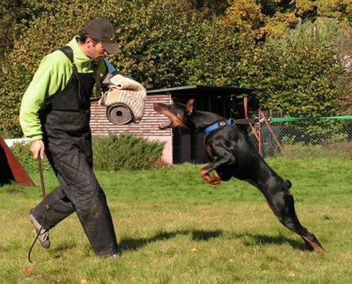 Doberman Schutzhund Training Dobermann Pinscher