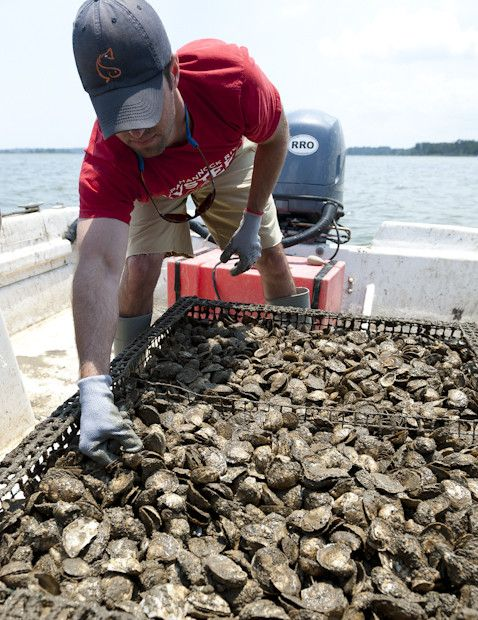 Next time you enjoy delicious oysters, remember to thank a farmer! USA Farm Stars presents an out-of-the-box farm industry--Oyster Farming! #oysters #farm #outofthebox