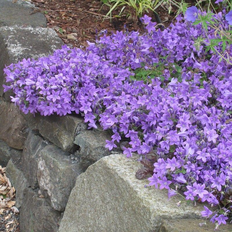 Campanula portenschlagiana muralis campanule des murailles bleue gardens - Campanule des murs ...