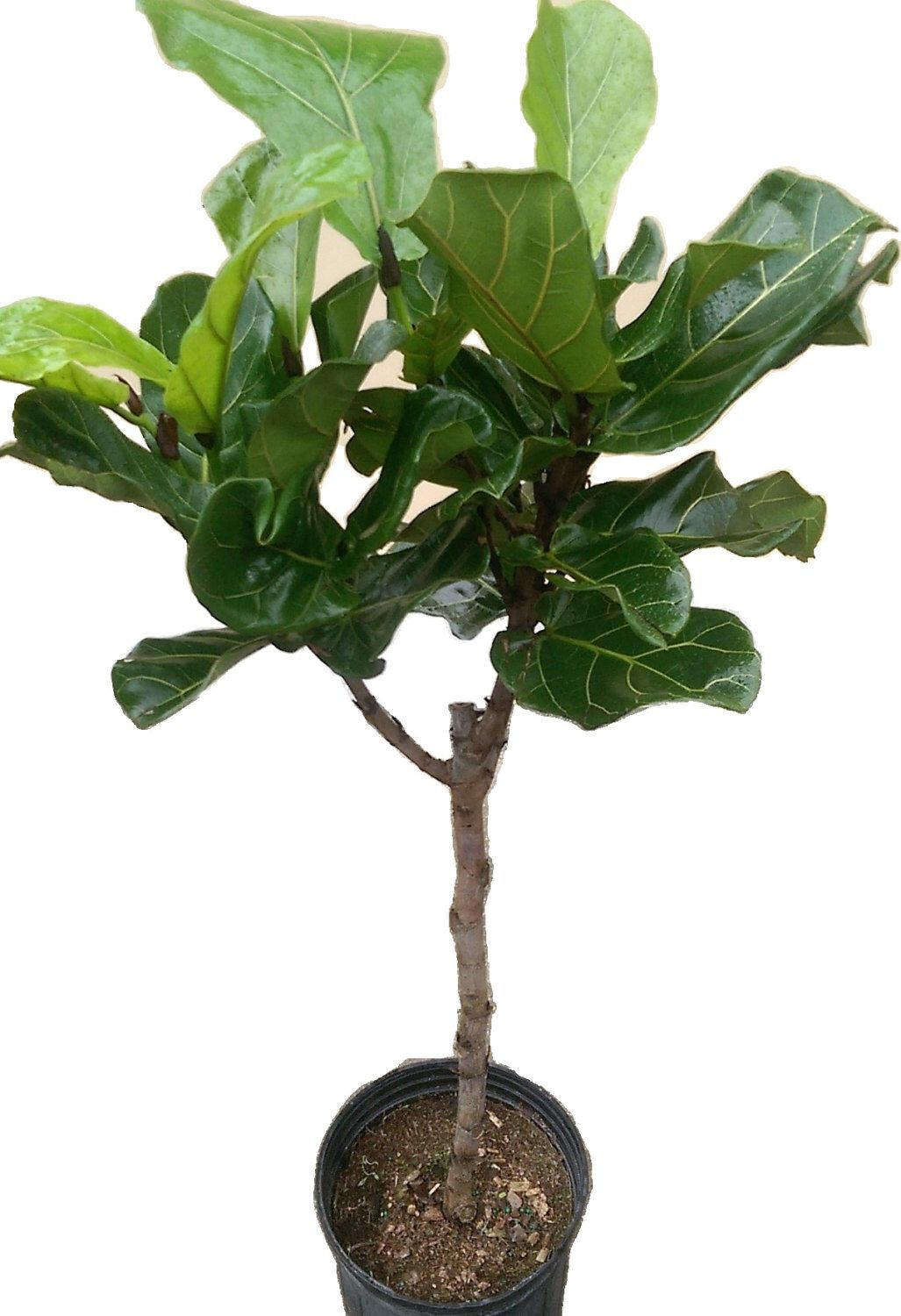 ficus lyrata tree plant in 10