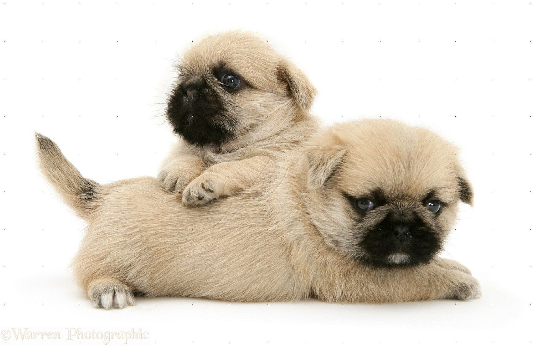 Pug Puppies Wallpaper White 13 Free Hd Wallpaper Hivewallpaper